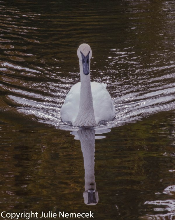 Swan and Wake