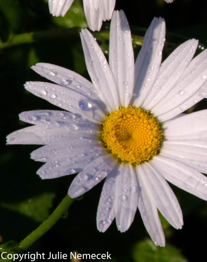 daisydrops