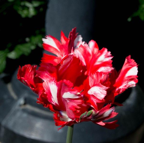 tulipr