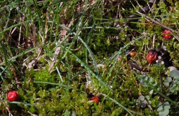 moss berries