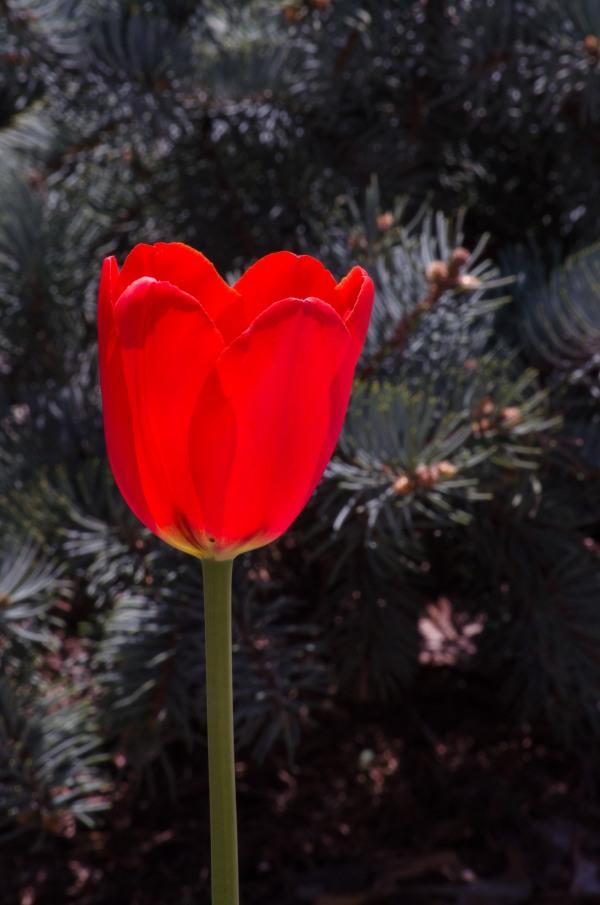 tulipwpine