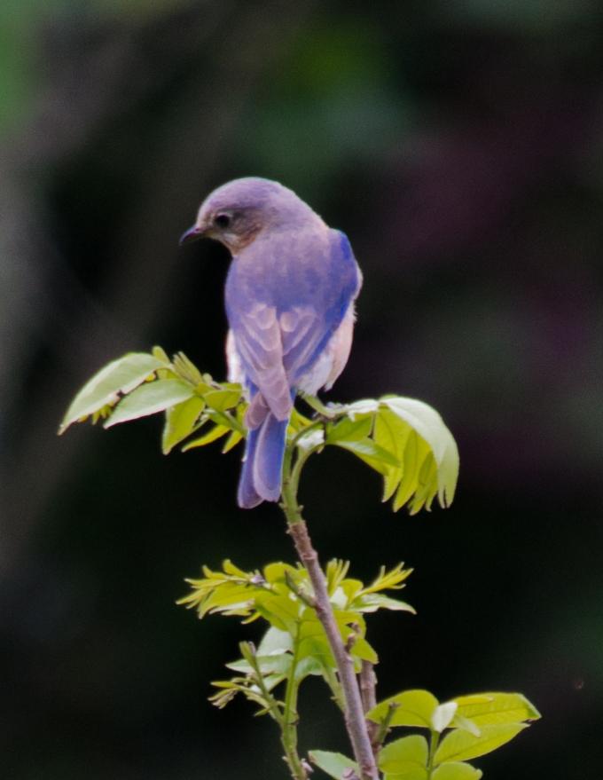 bbird